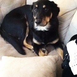Mia, chien Rottweiler