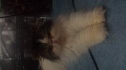 Mia, chat Persan