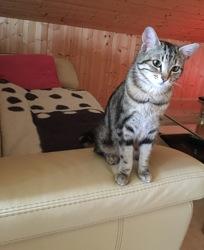 Mia, chat Européen