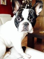 Mia, chien Bouledogue français