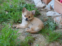 Mia, chien Chihuahua