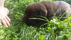 Mia, chien Labrador Retriever