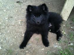 Mia, chien Spitz allemand