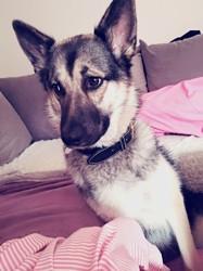 Mia, chien Berger allemand