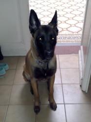 Mia, chien Berger belge