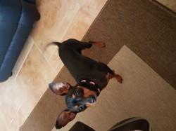 Mia, chien Pinscher