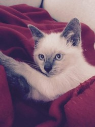 Mia, chat Siamois