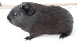 Mia, rongeur Cochon d'Inde