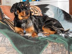 Toscane, chien Beauceron