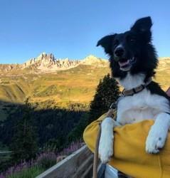Mia, chien Border Collie