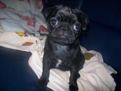 Mia, chien Carlin