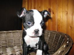 Mia, chien Terrier de Boston