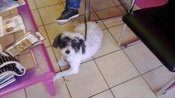 Mia, chien Griffon belge