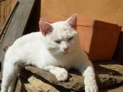 Miaou, chat Européen