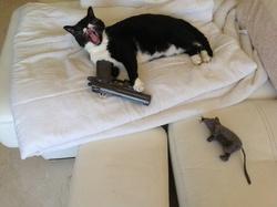 Miau, chat