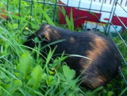 Mich Mich , rongeur Cochon d'Inde