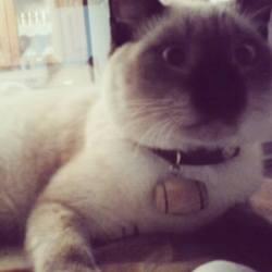 Micha, chat Siamois