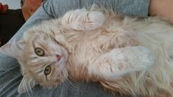 Micha, chat Angora turc