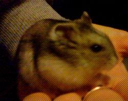 Michel, rongeur Hamster