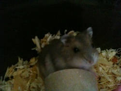 Micheline, rongeur Hamster
