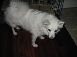 Michka, chien Samoyède