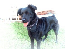 Michka, chien Berger hollandais