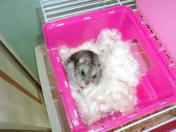 Michoco, rongeur Hamster