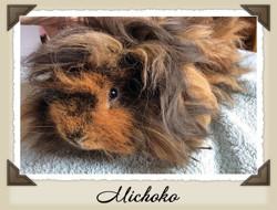 Michoko, rongeur Cochon d'Inde