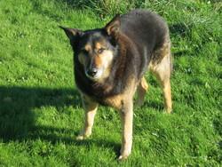 Michto, chien Berger belge