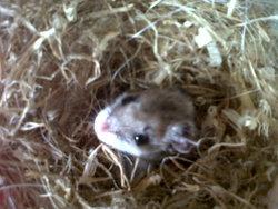 Mickael, rongeur Hamster