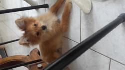 Mickey, chien Spitz allemand