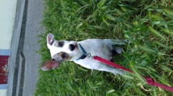 Mickey, chien Jack Russell Terrier