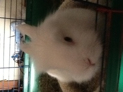 Mickey, rongeur Lapin
