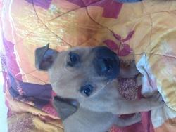 Mickey, chien Staffordshire Bull Terrier