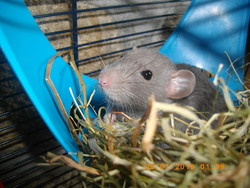 Mickey, rongeur Rat
