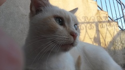Mickey, chat Siamois