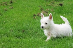 Micky, chien West Highland White Terrier