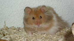 Micky, rongeur Hamster