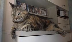 Micky - Jasme, chat Européen