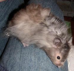 Microbe, rongeur Hamster