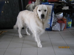 Midas, chien Golden Retriever