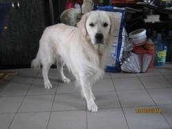 Midas, chien Golden Retriever