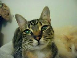 Midona, chat Oriental