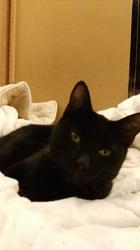 Mieko, chat Européen