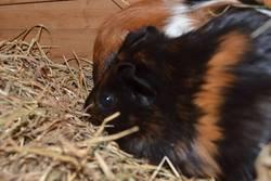 Miel, rongeur Cochon d'Inde
