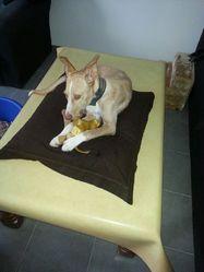 Miel, chien Podenco ibicenco