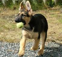 Mielle, chien Berger allemand