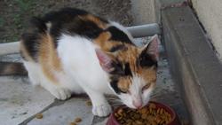 Miette, chat Européen