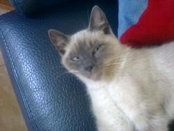 Miette, chat Siamois