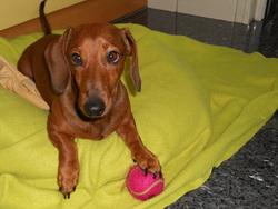 Migalha, chien Teckel